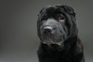 Beautiful black shar pei dog over grey background