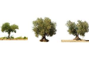 Olive tree white isolated