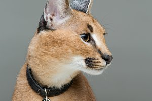 Beautiful caracal lynx sitting over grey background