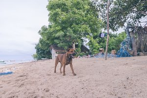 Street dogs playing on the beach of Nusa Lembongan island, Bali, Indonesia.