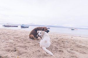 Street dogs playing on the beach of Nusa Lembongan island, Bali, Indonesia.