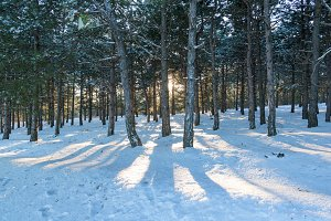 Sunset in the wood between pine trees strains in winter period