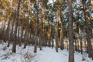 Pine sunlight forest, winter