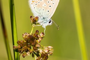 Common Blue Butterfly on a Plant