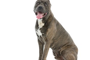 Beautiful amstaff dog