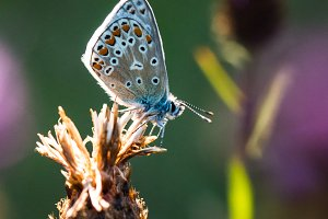 Common Blue Butterfly on Thistle