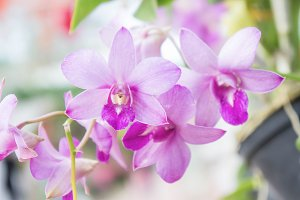 Orchid purple flowers