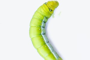 Green worm caterpillars animals