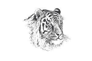 Face of calm tiger