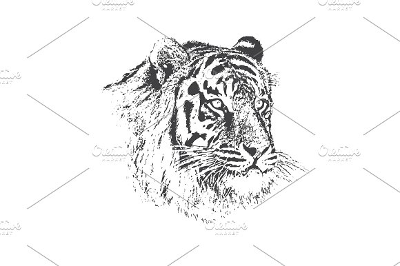 Face Of Calm Tiger