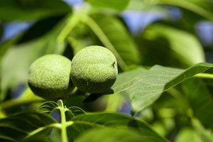 Two young walnuts growing on a tree