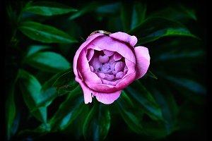 Dark pink peony flower