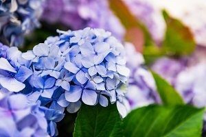 Hydrangea Flowers in the Garden