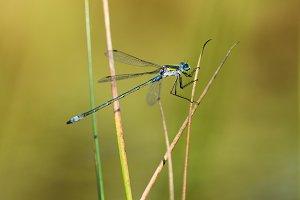 Emerald Damselfly Gripping Reed