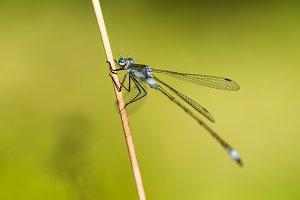 Emerald Damselfly Holding Reed