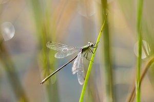 Emerald Damselfly Holding onto Reed