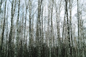 Vertical thicket of birch trees landscape background