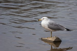 Seagull Standing On One Leg