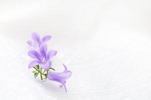 Campanula Flowers on white eyelet