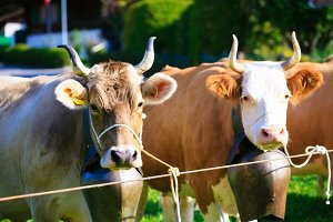 Cows Getting Ready For The Aelplerfest