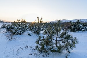 Sunset winter landscape in pine forest