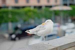 Seagull at Oslo central background