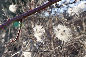 Dry fluffy plant