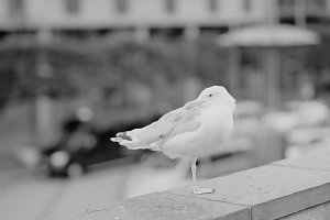 Black and white seagull at Oslo central background