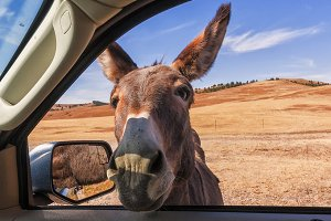 Wild Burro...Head Through Car Window