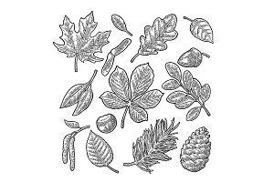 Set leaf, acorn, chestnut and seed. Vector vintage engraved illustration.