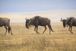 Wildebeest journey