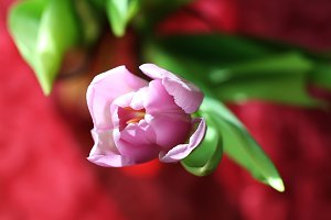 Beautiful tulip flower close up
