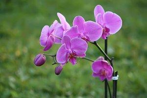 Blooming purple orchid flower