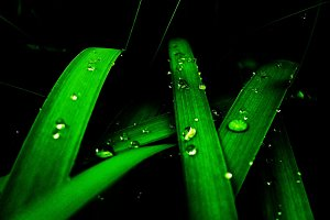 Water drops at leafs