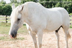 Wild White Horse out in Pasture I