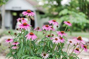 Beautiful Pink Coneflowers