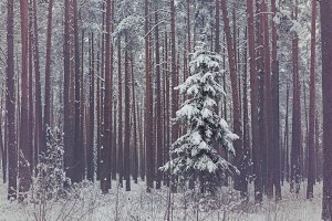 Lonely spruce in winter forrest