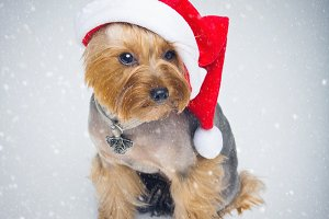 Yorkshire terrier dog in christmas cap