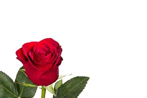 Bright red rose on white