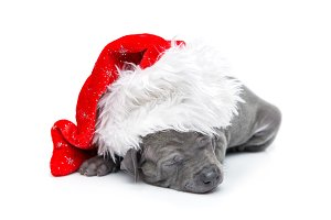 Thai ridgeback puppy in christmas cap isolated on white