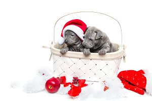 Two thai ridgeback puppies in christmas cap in basket