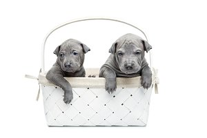 Two thai ridgeback puppies in basket isolated on white