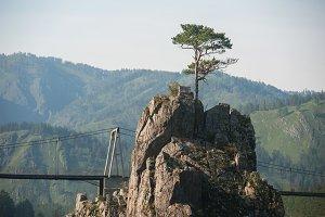 pine grows through the rocks