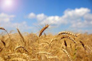 Ears of ripe yellow wheat