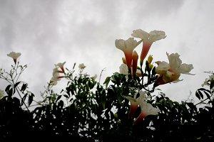 Bignonia by cloudy sky
