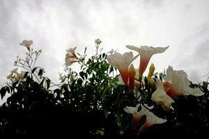 Bignonia by snoudy sky
