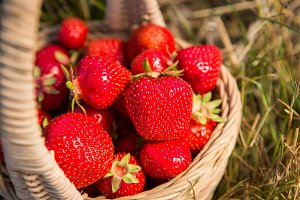 Wicker basket with red ripe strawberries on a background of yellow hay or yellow grass
