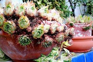 Succulents on pots