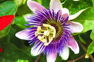 Passion Fruit Flower In The Tropics