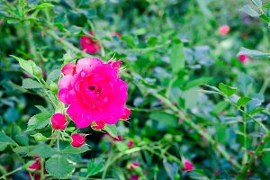 Pink roses in a garden. Selective focus. Toned image